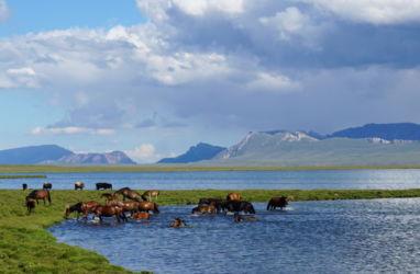 chevaux lac song kol Kirghizstan 6