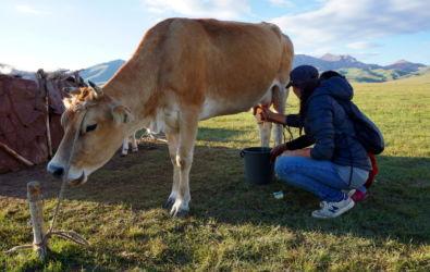vache lac song kol Kirghizstan